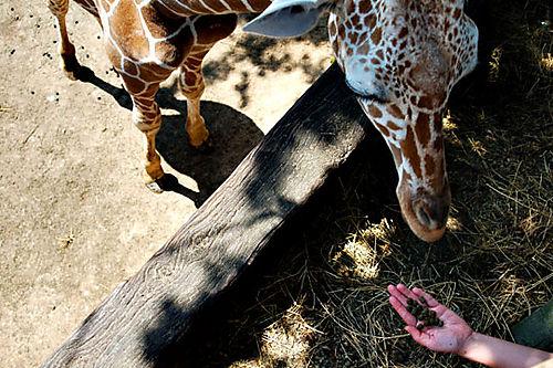 Hand-Feeding-Giraffe